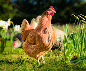 Free range chickens foraging in springtime among daffodils