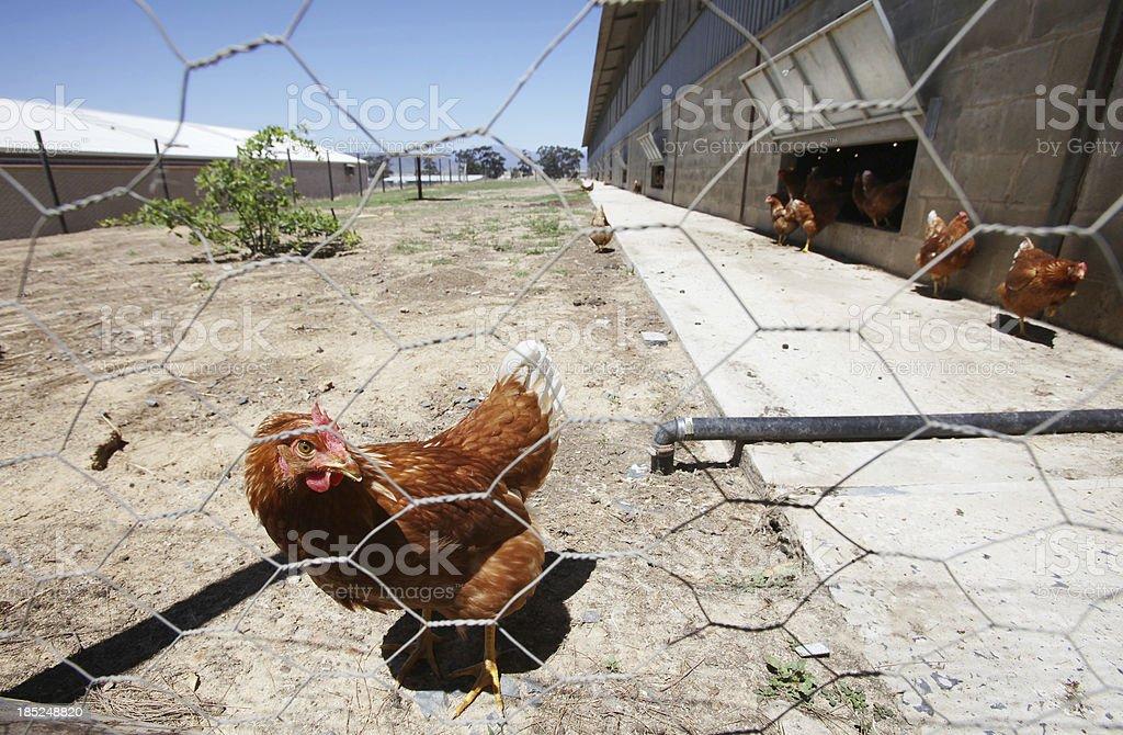 Free range chickens royalty-free stock photo