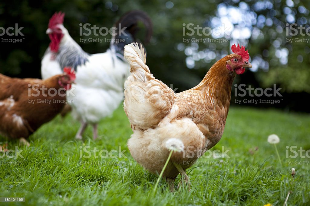 Free Range Cockerel with Chickens royalty-free stock photo