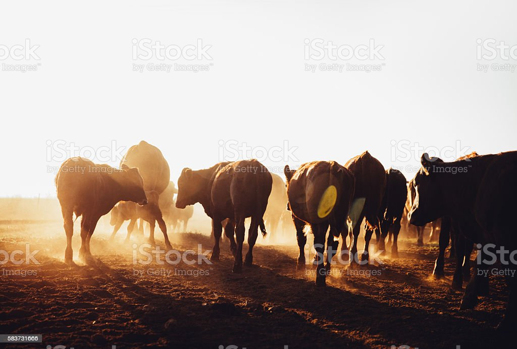 Free range cow herd grazing on open land blowing up stock photo
