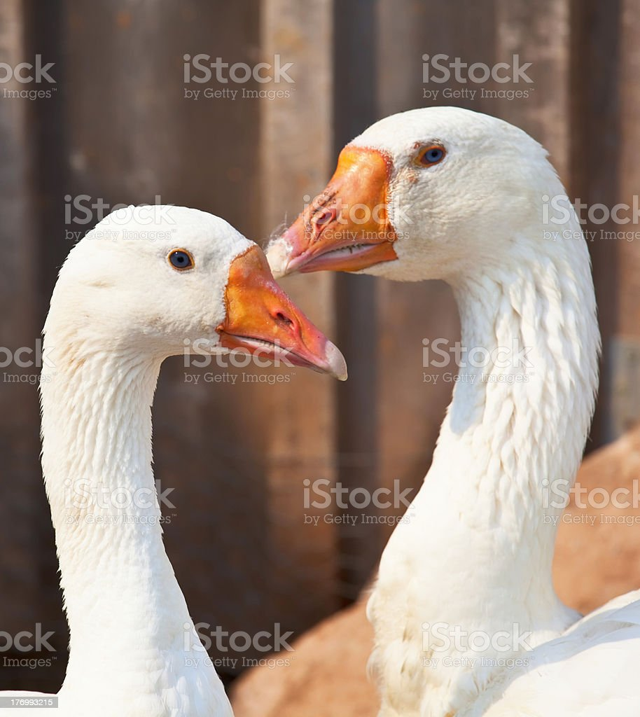 Free Range Domestic Geese stock photo