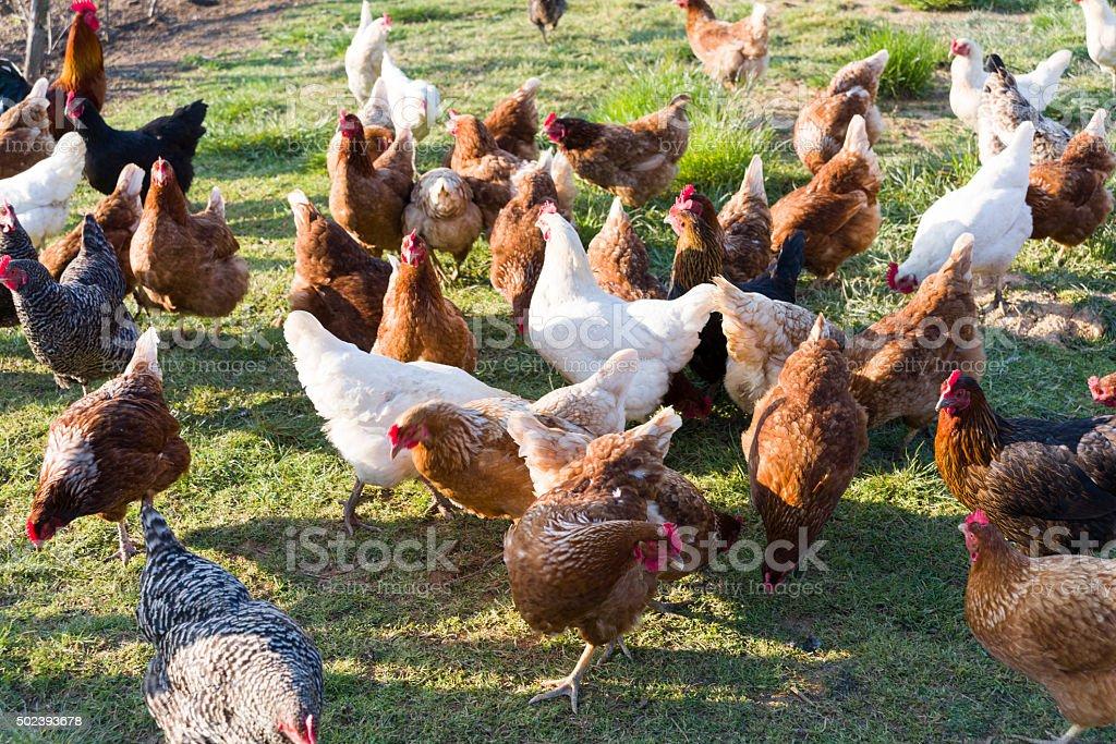 Free Range Foraging Chickens at Organic Farm stock photo