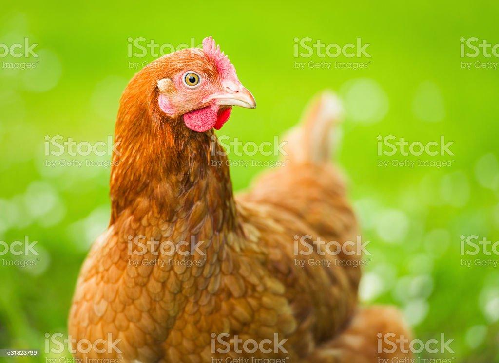 Free Range Hen Close-up stock photo