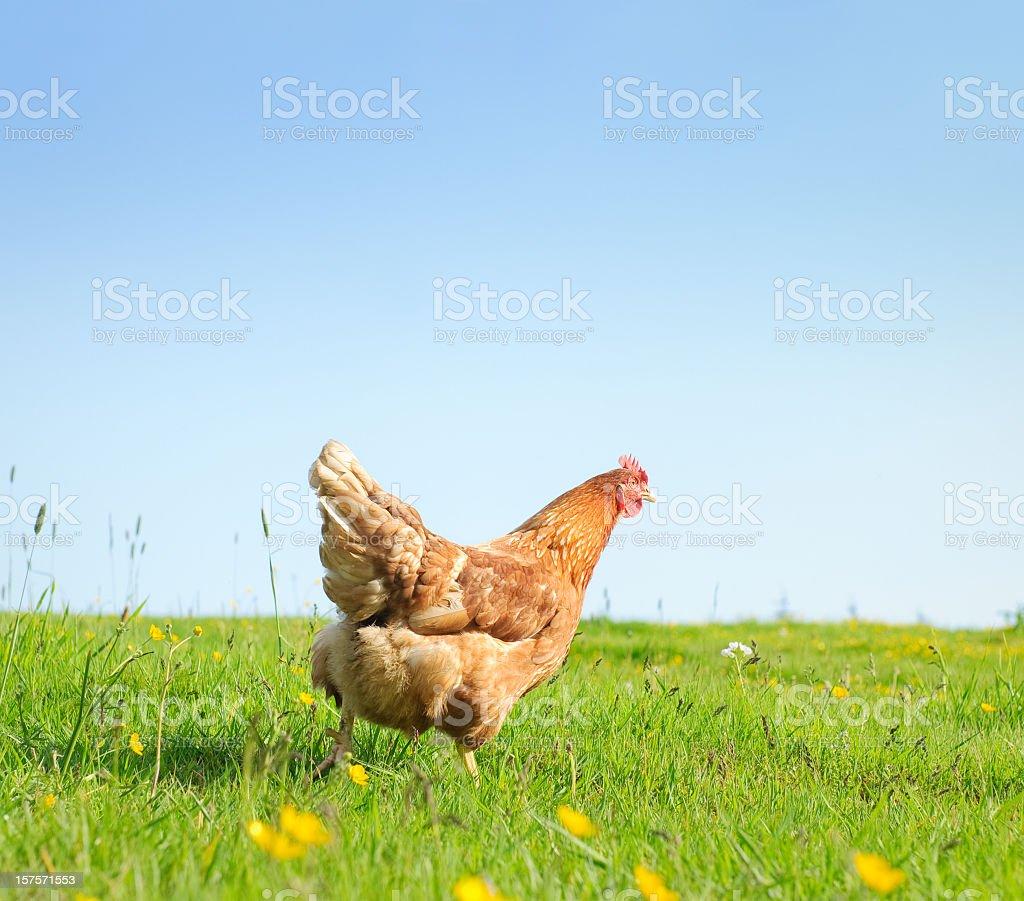 Free Range Hen in Spring stock photo