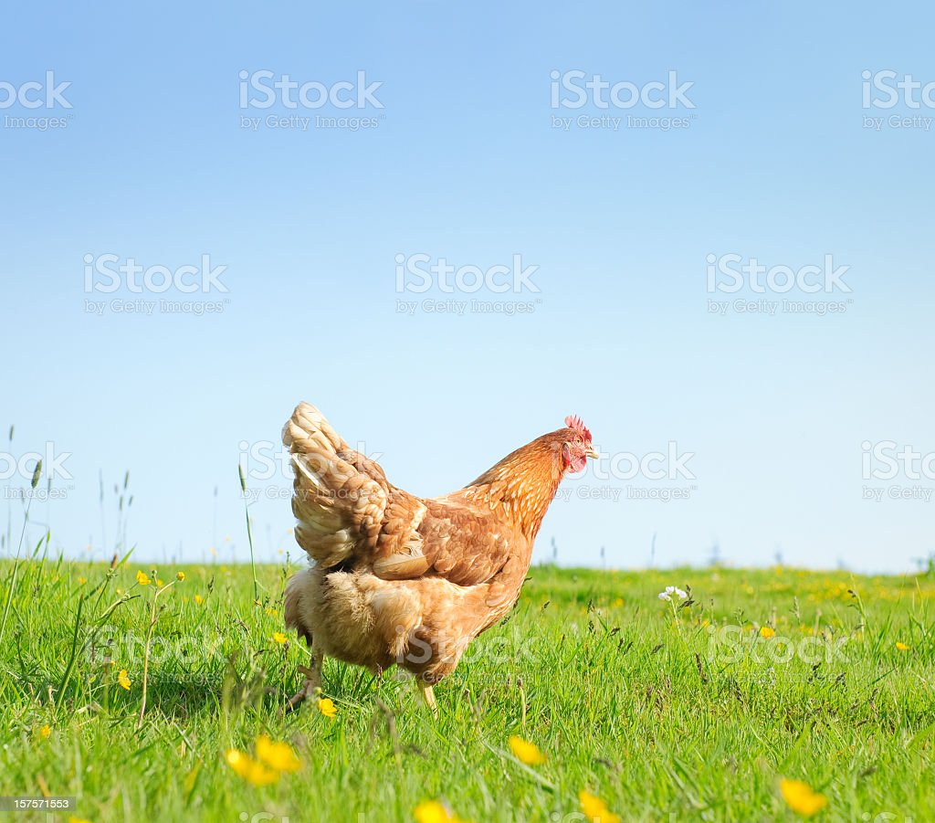 Free Range Hen in Spring stock photo