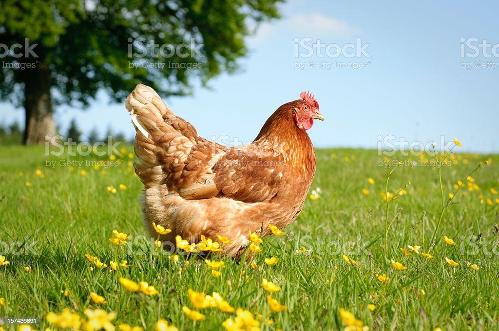 Free Range Hen stock photo