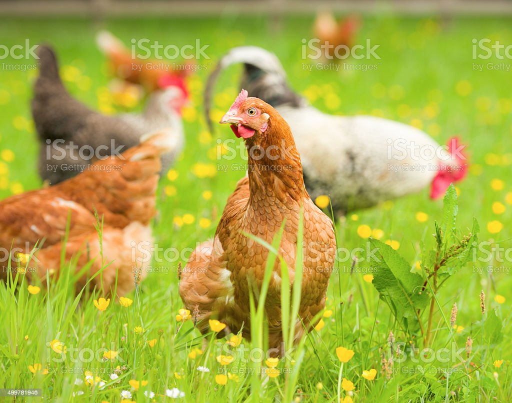 Free range organic chickens in springtime stock photo