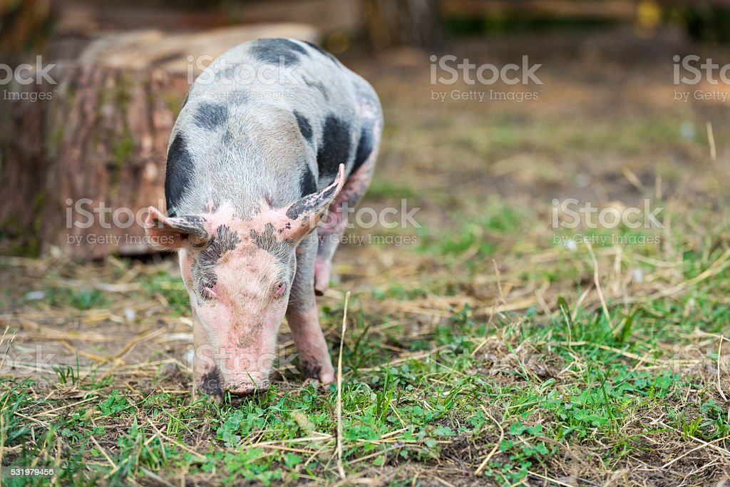 Free range, outdoor bred cute pink piglet stock photo