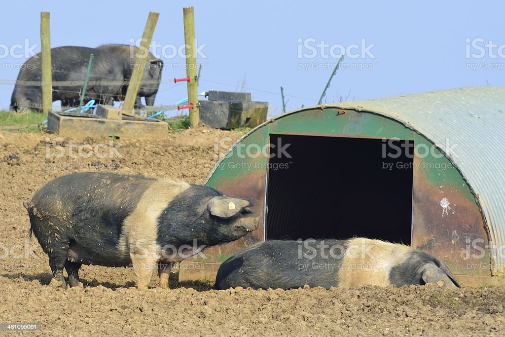 Free range pigs in field royalty-free stock photo