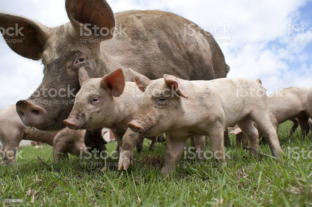 Free Range Pigs stock photo