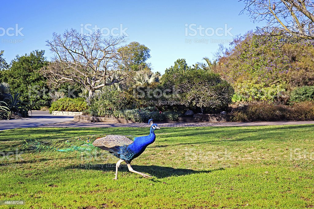 Free Run Peacock stock photo