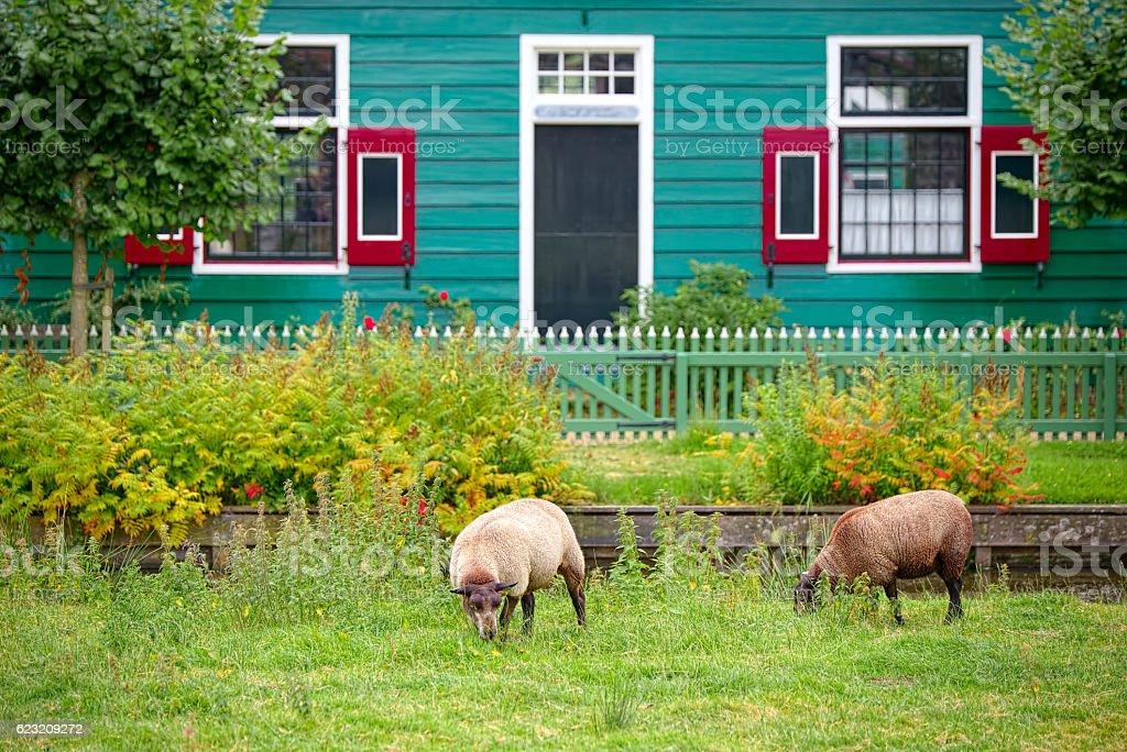 Free sheep grazing in Zaandam, Netherlands stock photo
