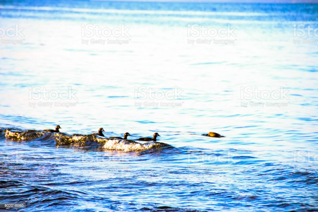 Free Swimming Ducks stock photo