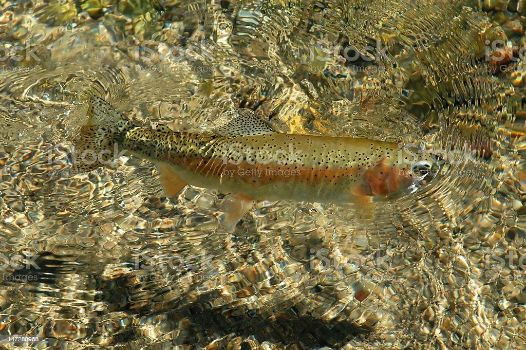 Free swimming Rocky Mountain Rainbow Trout royalty-free stock photo