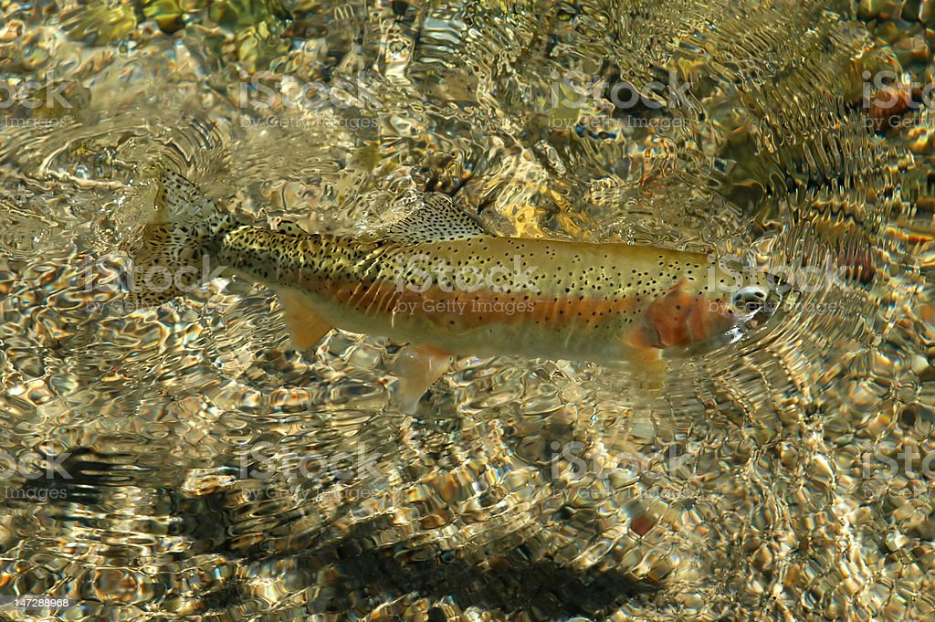 Free swimming Rocky Mountain Rainbow Trout stock photo