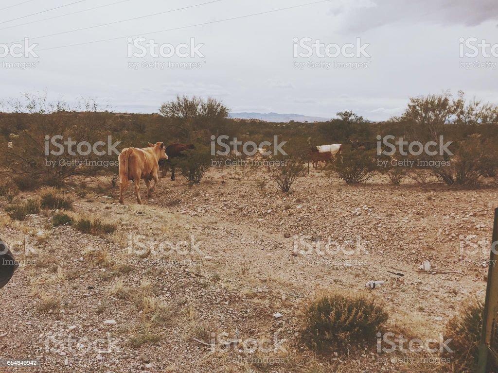 Freedom Cows stock photo