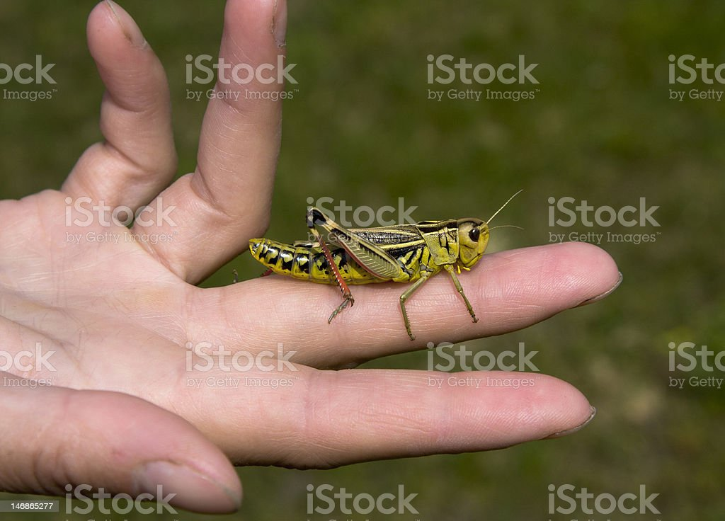 Freedom: grasshopper on the opened palm royalty-free stock photo