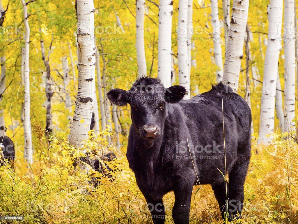 Free-Range Cattle royalty-free stock photo