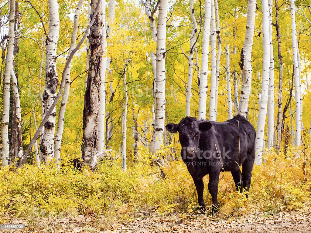 Free-Range Cattle royalty-free stock photo