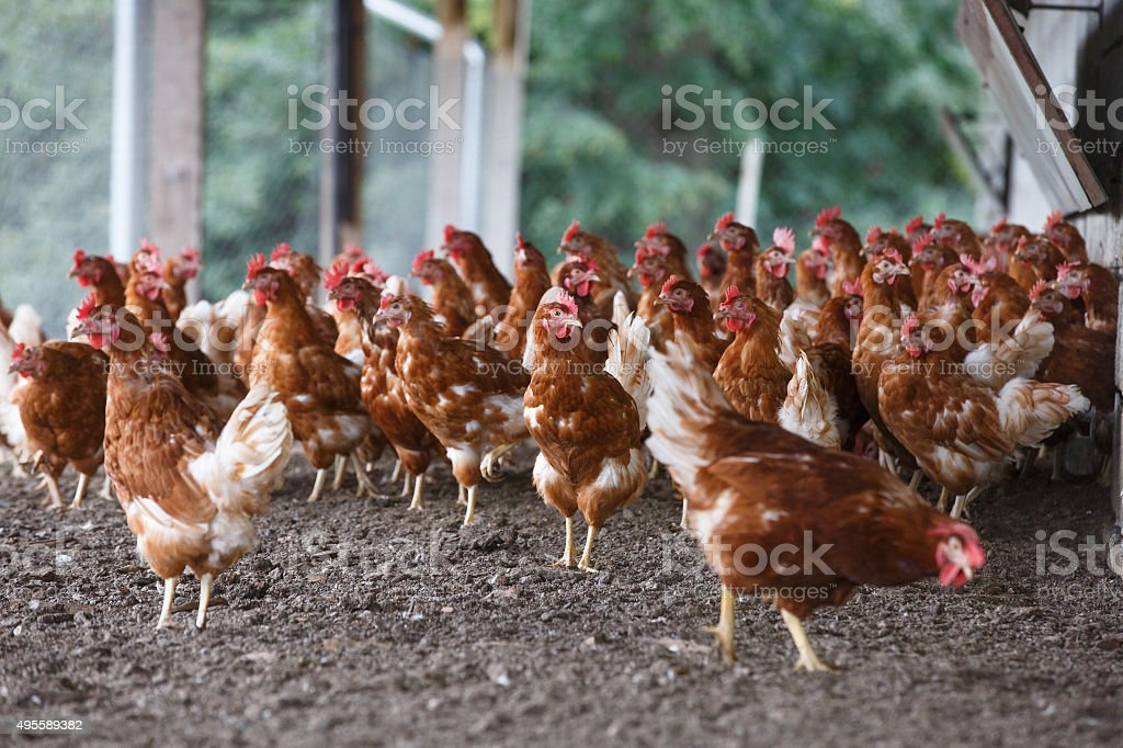 Free-range chicken freely grazing outside stock photo