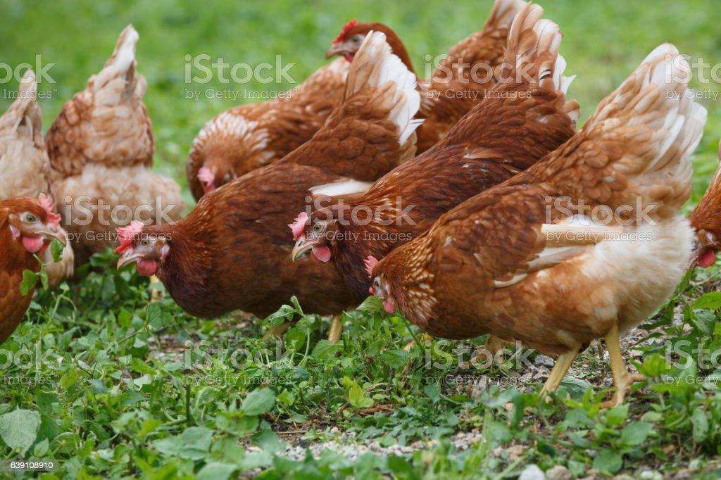 Free-range hens (chicken) on an organic farm stock photo