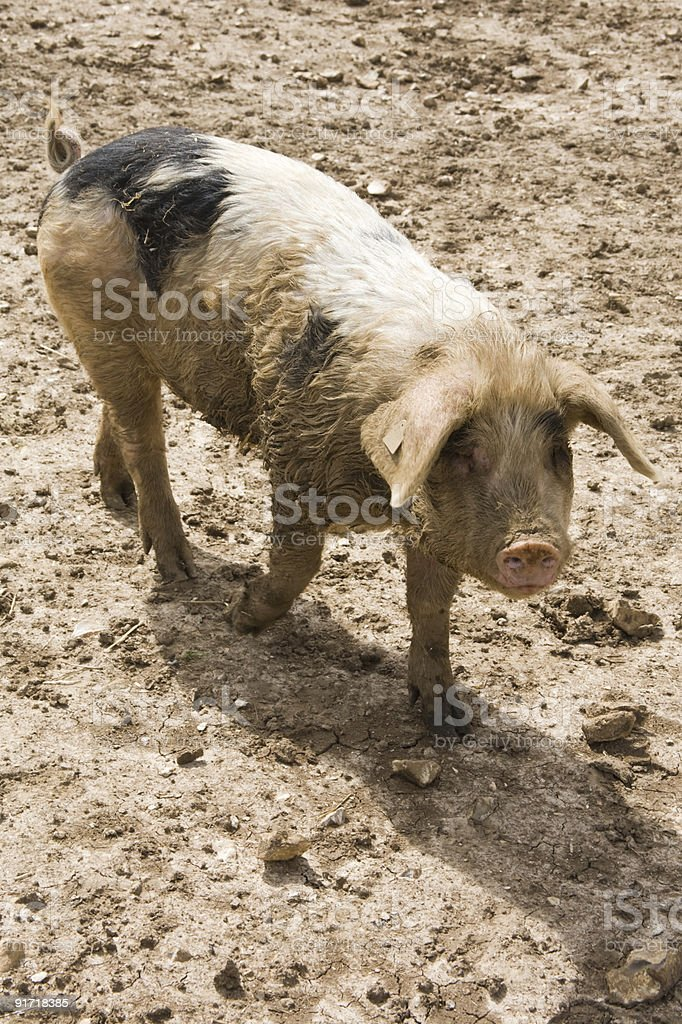 Freerange pig, Hampshire, England. stock photo
