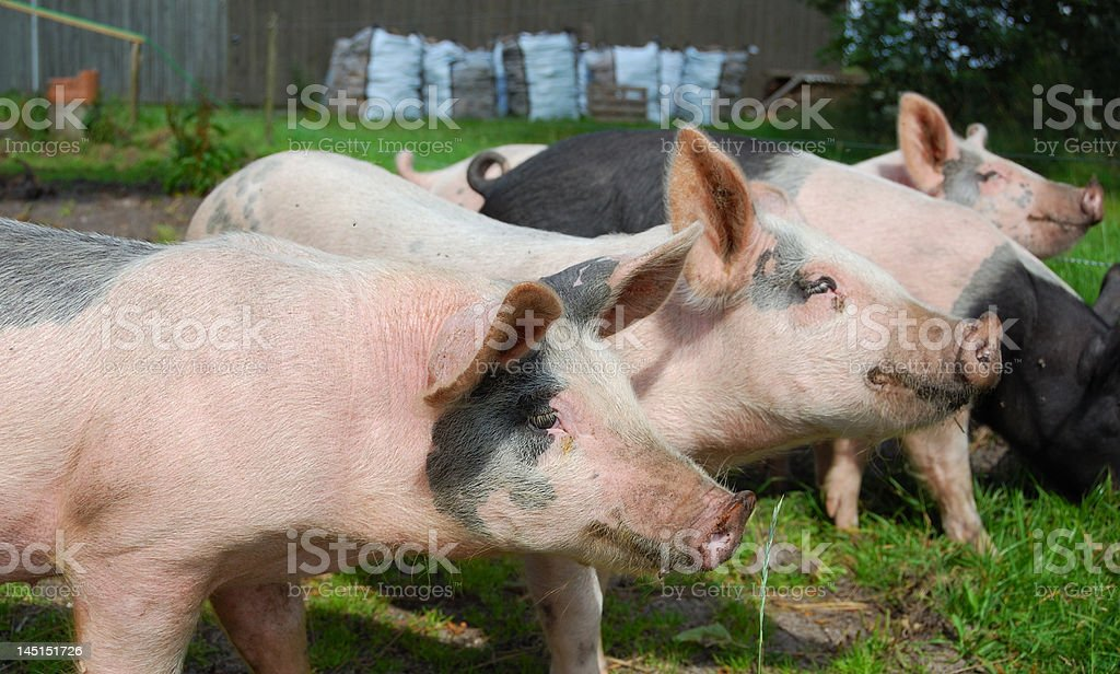 Free-range pigs stock photo