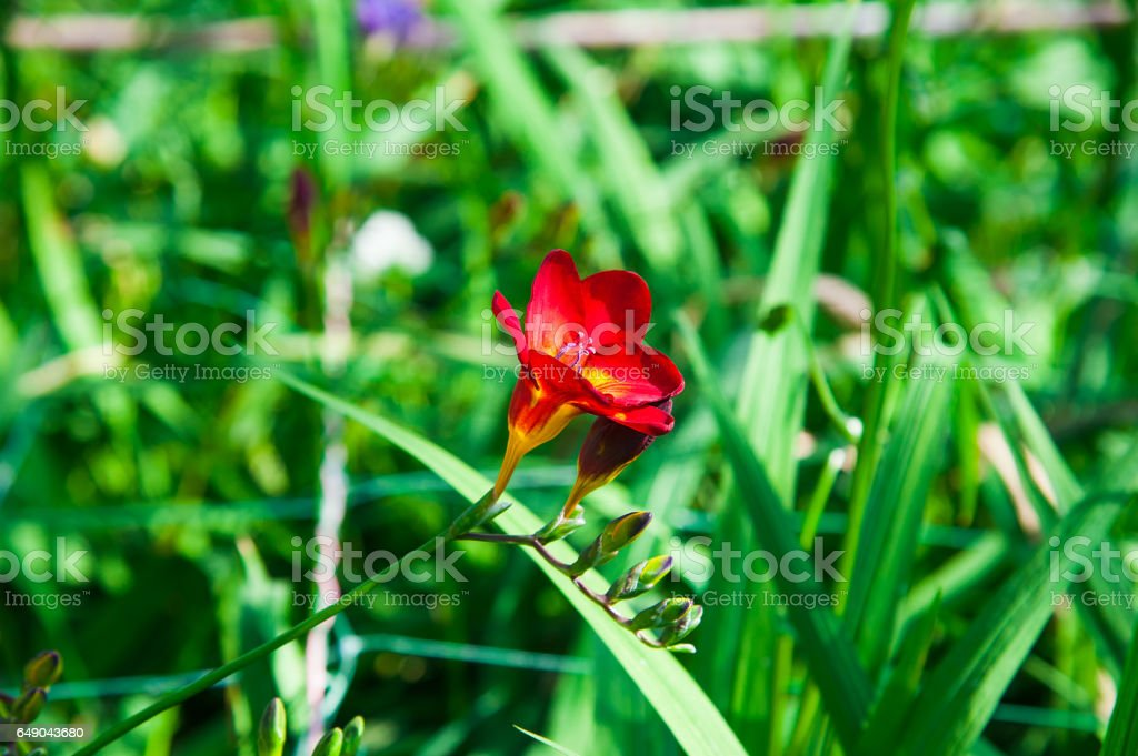 Freesia flowers grow in a greenhouse stock photo