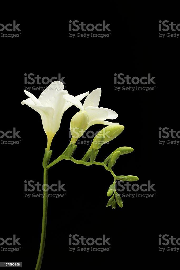 Freesia, White Flower, Isolated on Black, Spring royalty-free stock photo