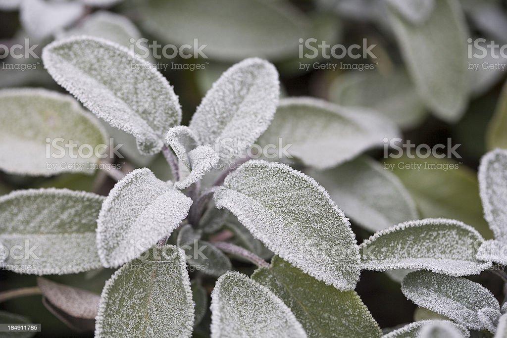 freezing herb royalty-free stock photo