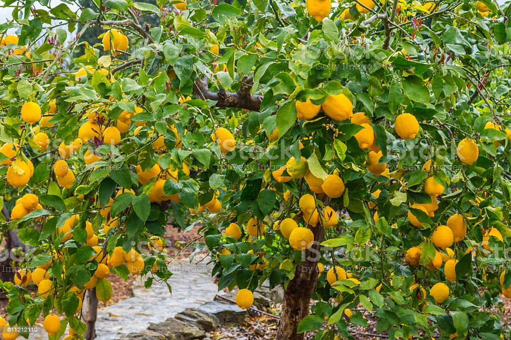 Frehs oranges on a orange tree (majorca) stock photo