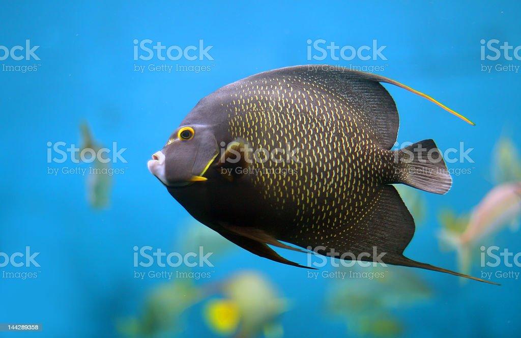 French Angelfish royalty-free stock photo