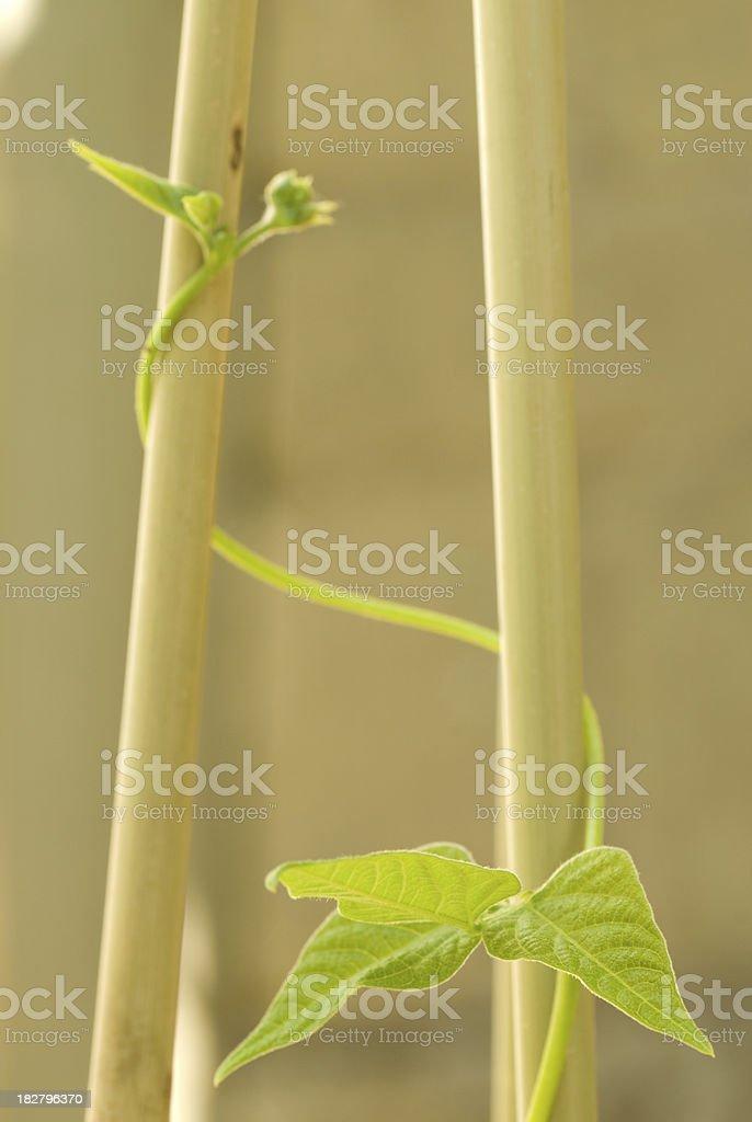 French bean plant stock photo