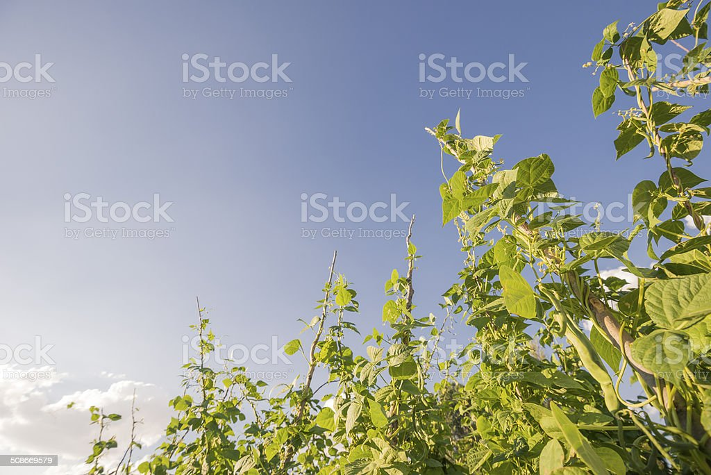 French Beans Orchard stock photo