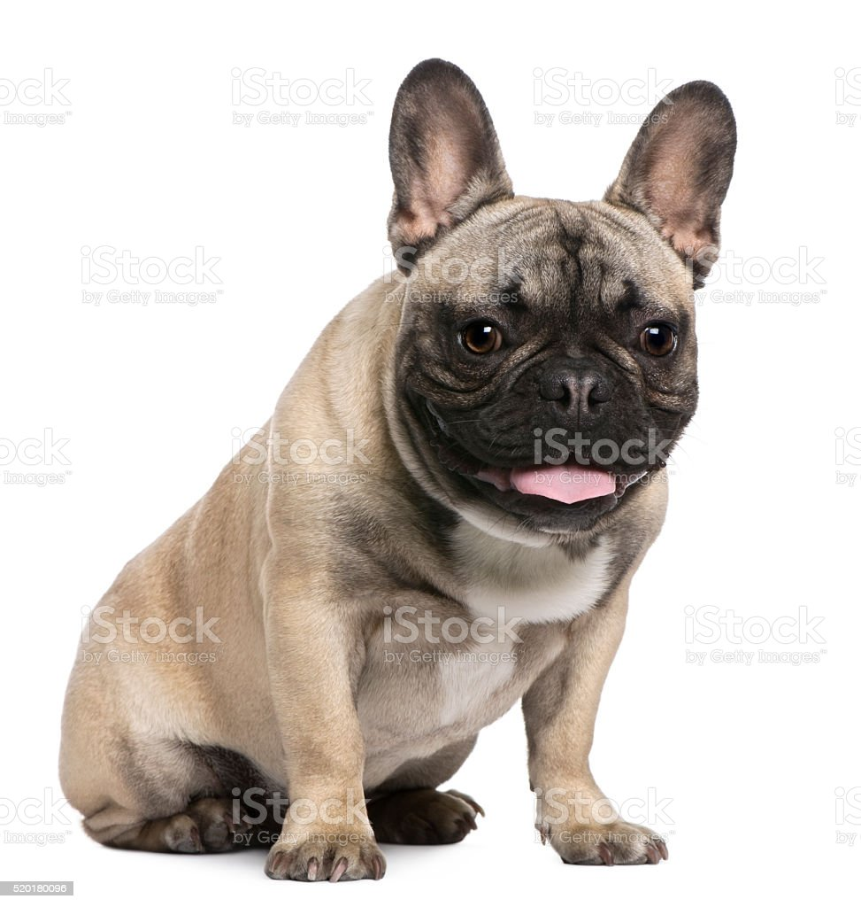 French Bulldog, 8 months old, sitting stock photo