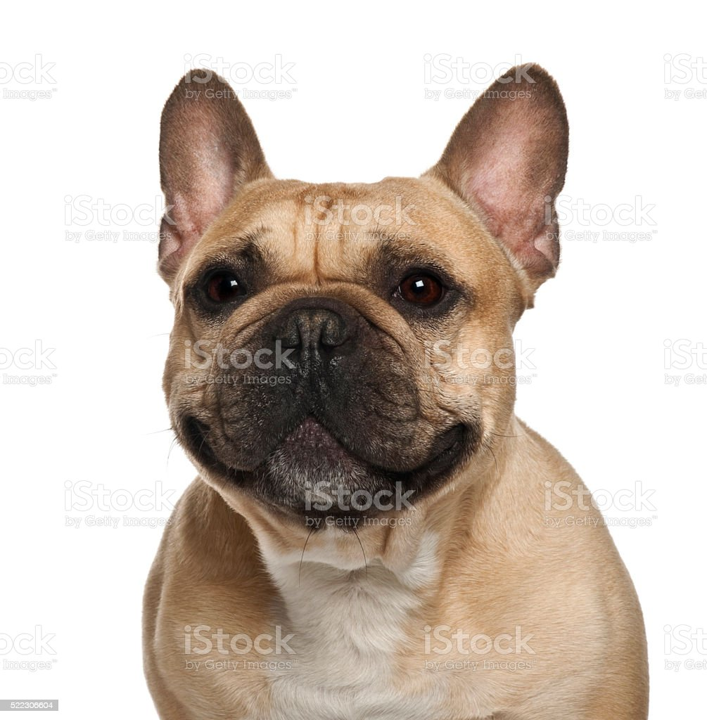 French Bulldog against white background stock photo