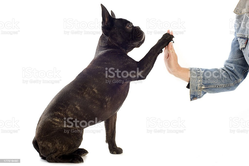 french bulldog and paw royalty-free stock photo