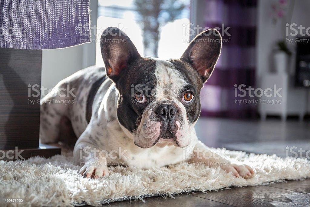 French bulldog at home stock photo