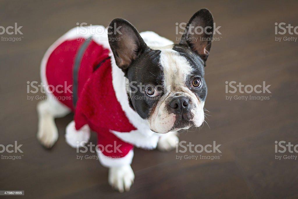 French bulldog dressed up in santa costume stock photo