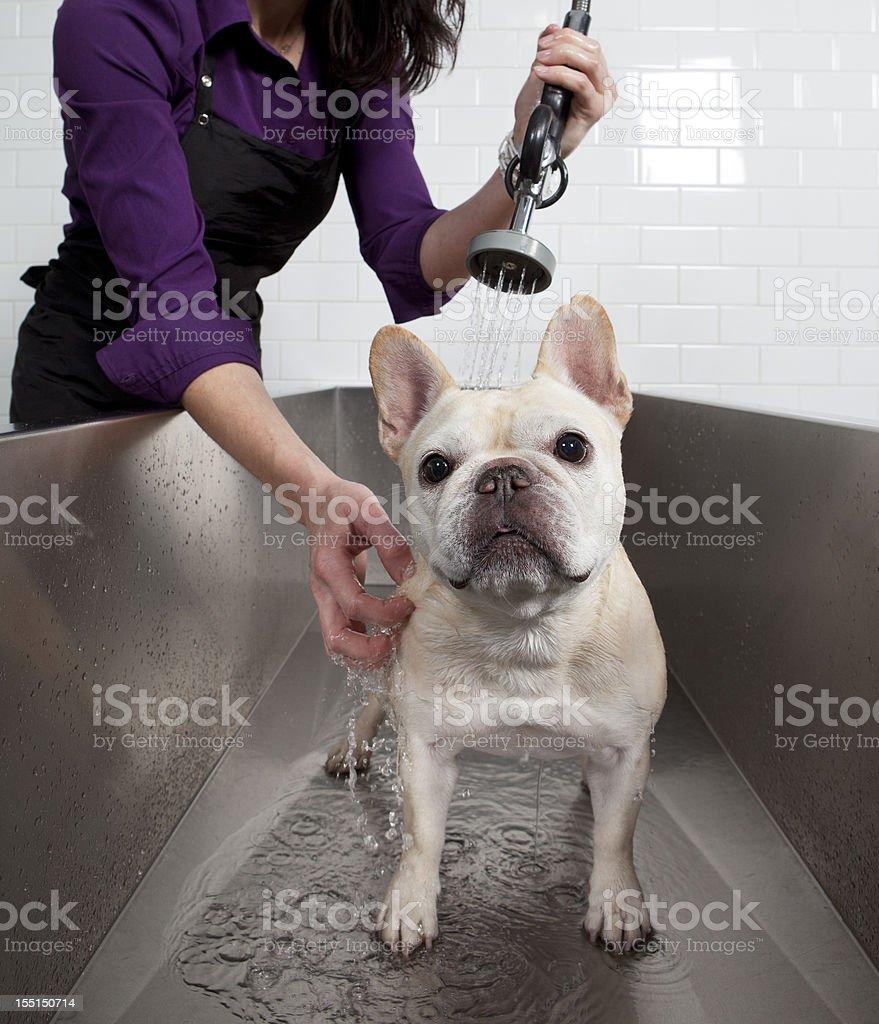 French Bulldog Getting a Bath at Self Service Dog Wash. royalty-free stock photo