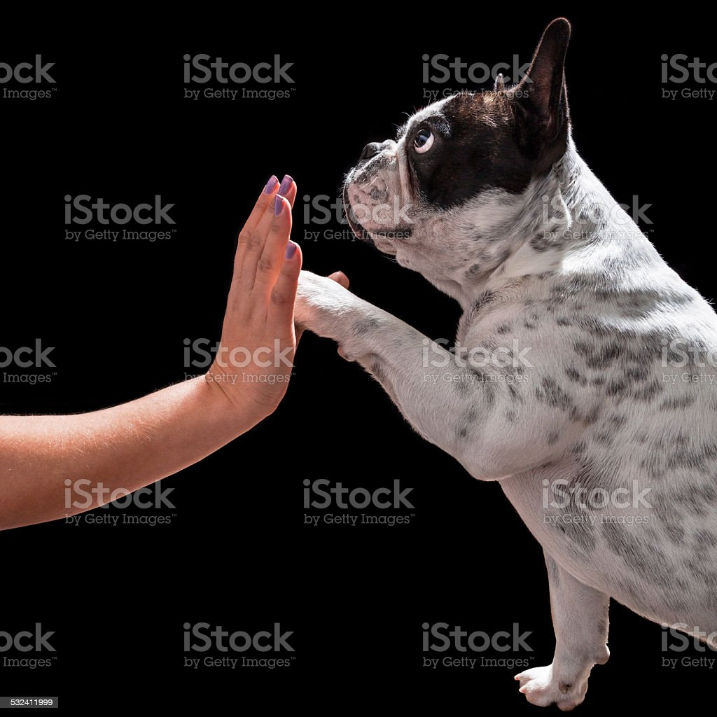 French bulldog giving a paw stock photo