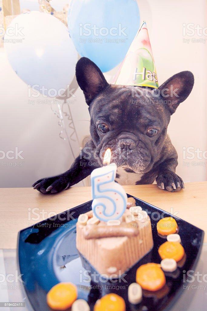 French bulldog has a happy birthday stock photo