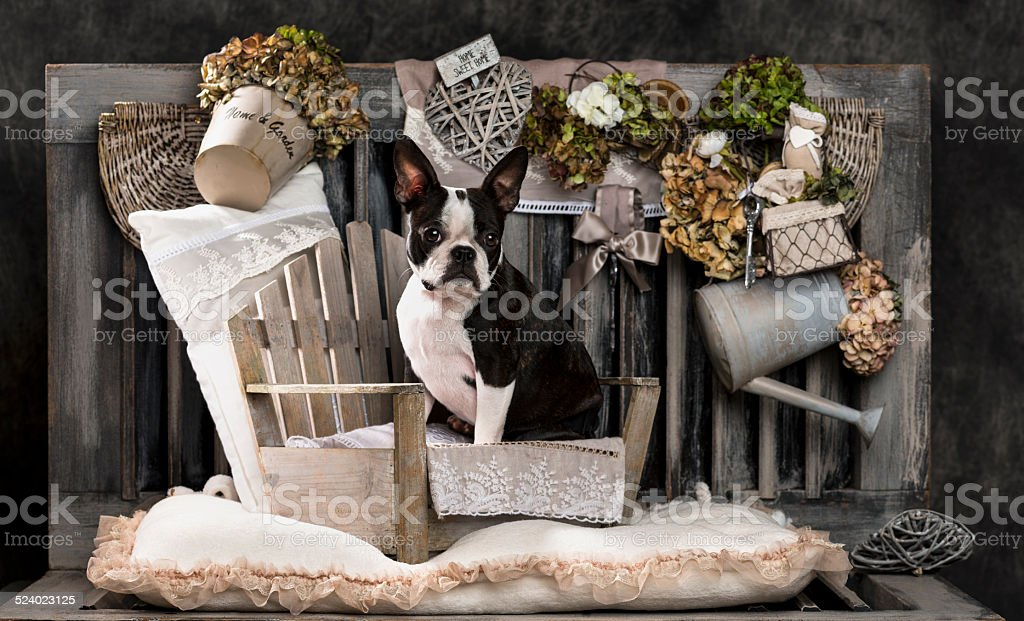 French Bulldog in front of a rustic background stock photo