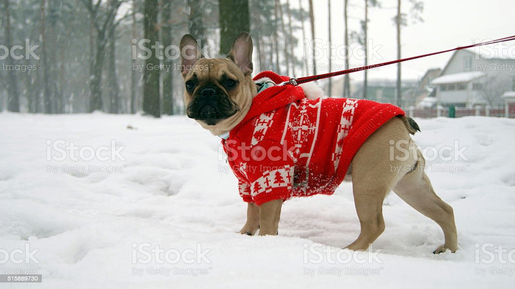 French bulldog in red jacket stock photo