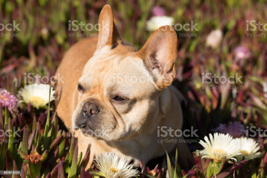 French Bulldog in Sea Fig Background stock photo