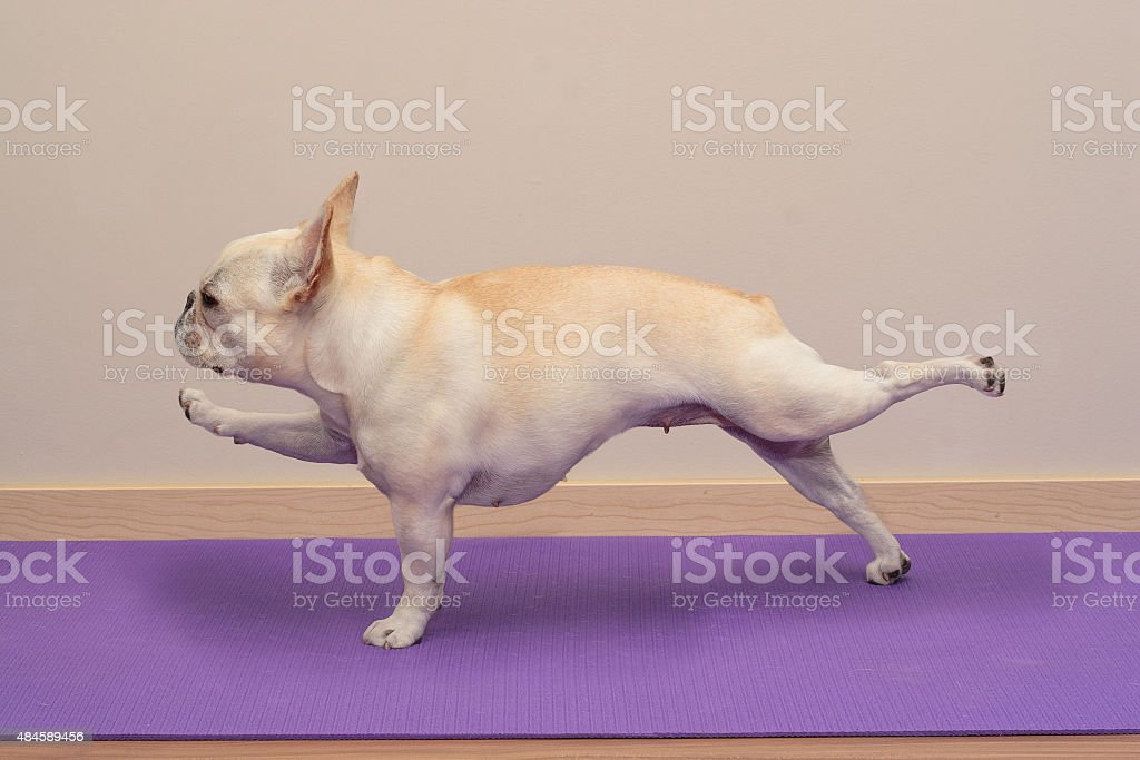 French Bulldog in Yoga Pose - Single Arm / Leg Plank stock photo