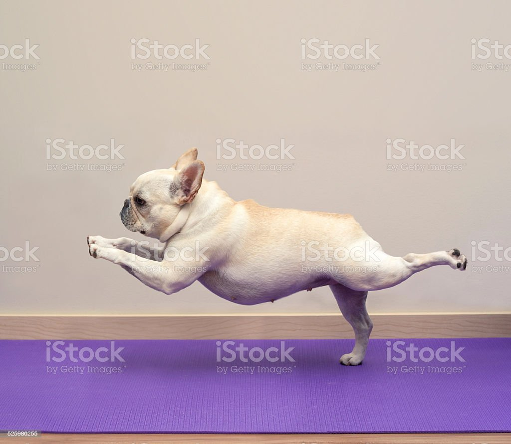 French Bulldog in Yoga Pose - Warrior 3 stock photo
