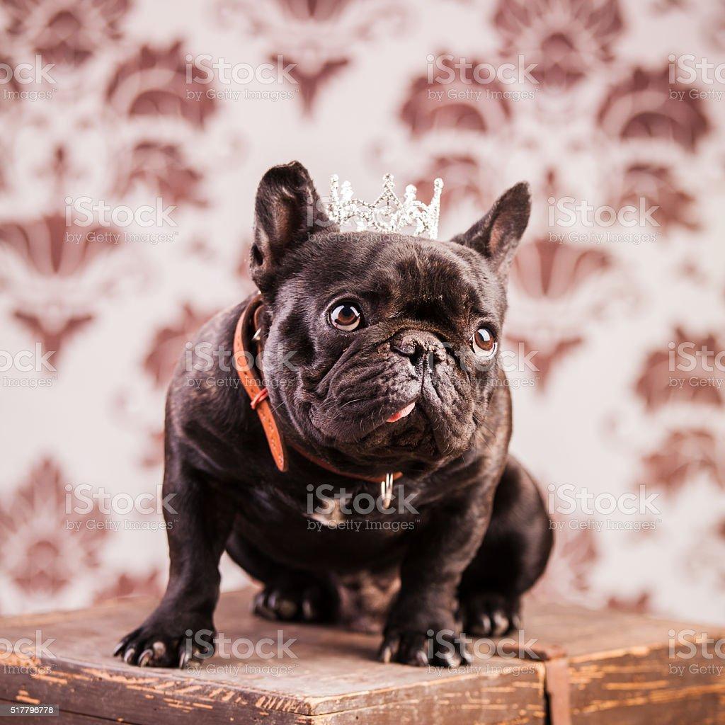 french bulldog king stock photo