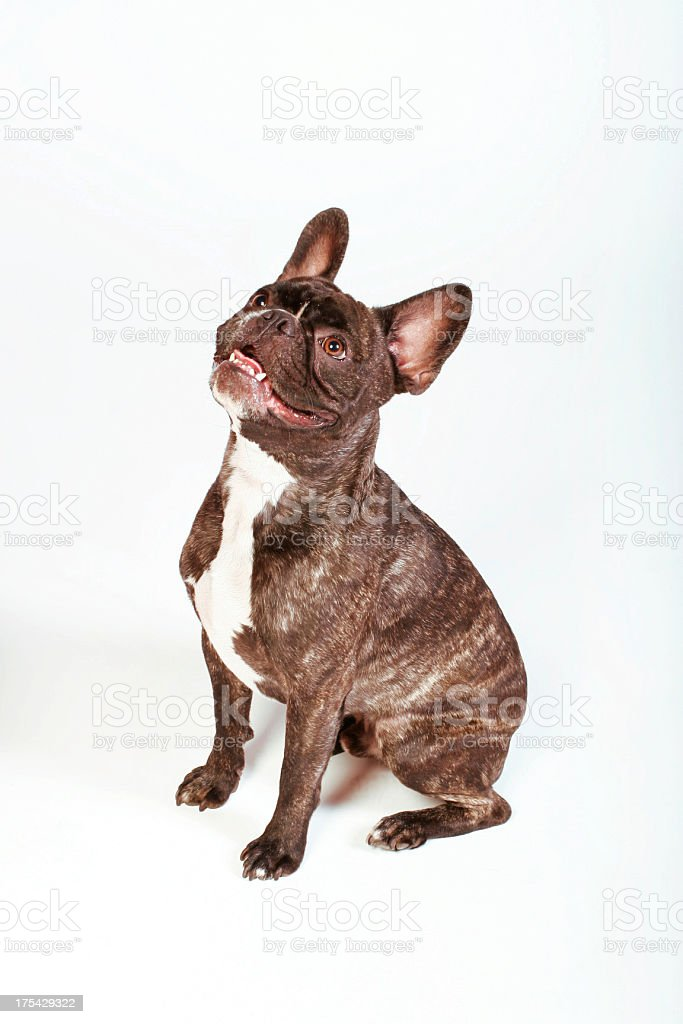 French Bulldog Looking Left royalty-free stock photo