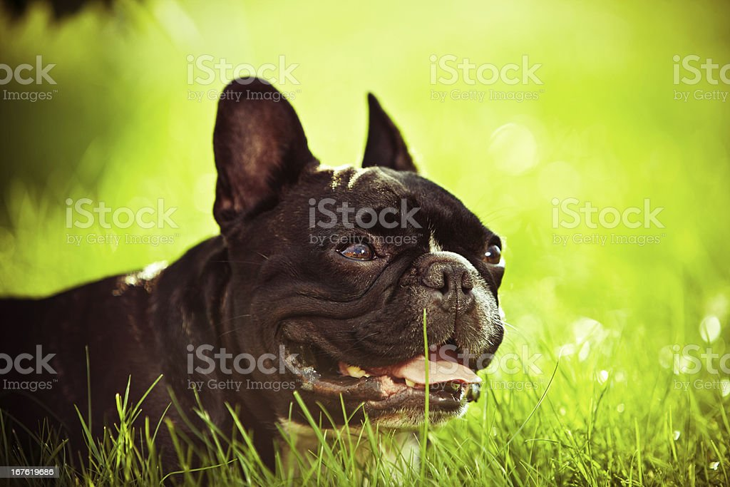 French Bulldog on grass portrait stock photo